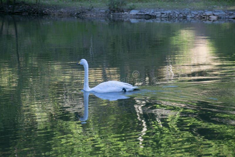 Biały łabędź na jeziorze w Arberotum zdjęcie stock