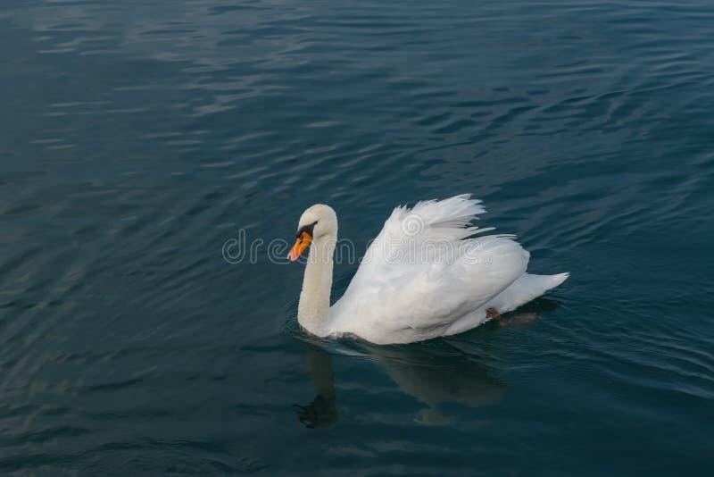 Biały łabędź na spokojnej wodzie zdjęcia stock