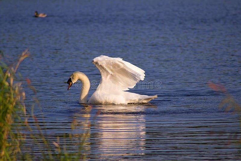 Biały łabędź na stawie obraz stock