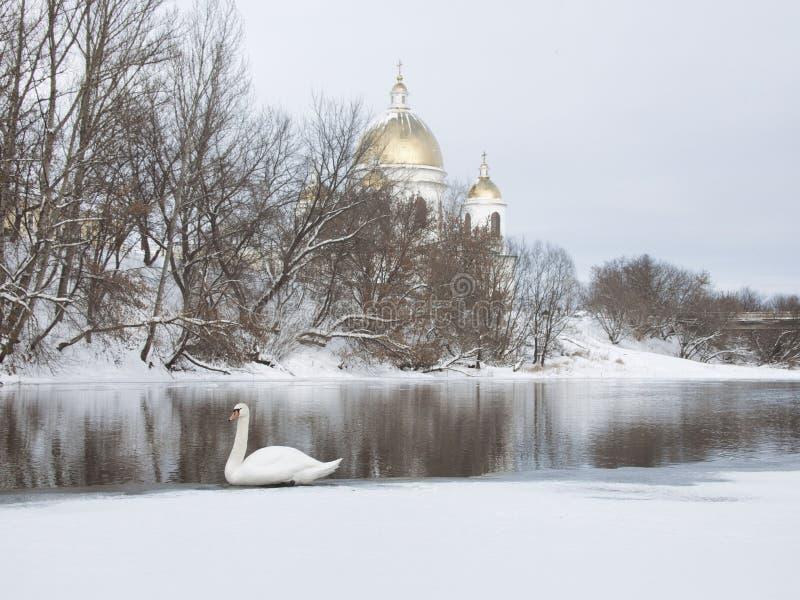 Biały łabędź na Tsna rzece w Morshansk obrazy royalty free
