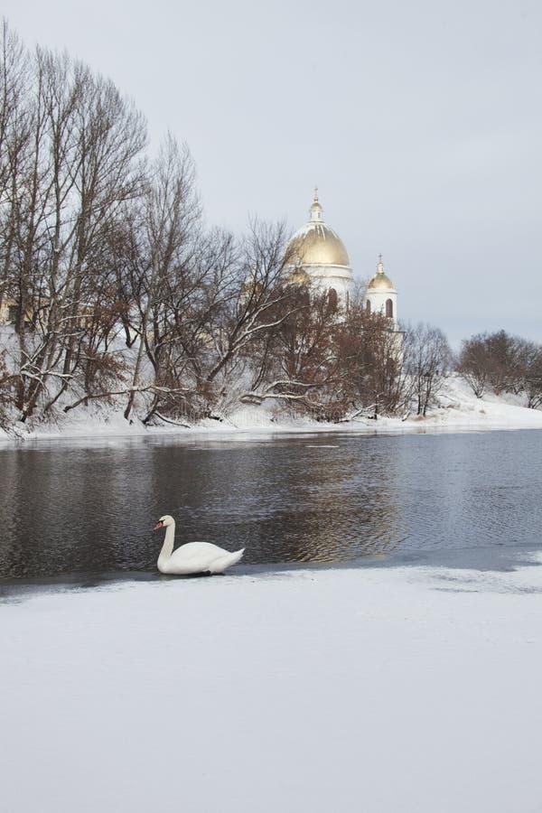 Biały łabędź na Tsna rzece w Morshansk fotografia stock