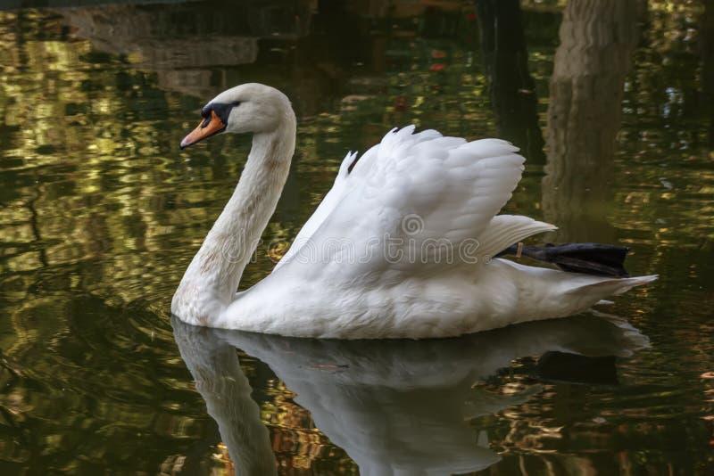 Biały łabędź ono ślizga się na wodzie zdjęcia stock