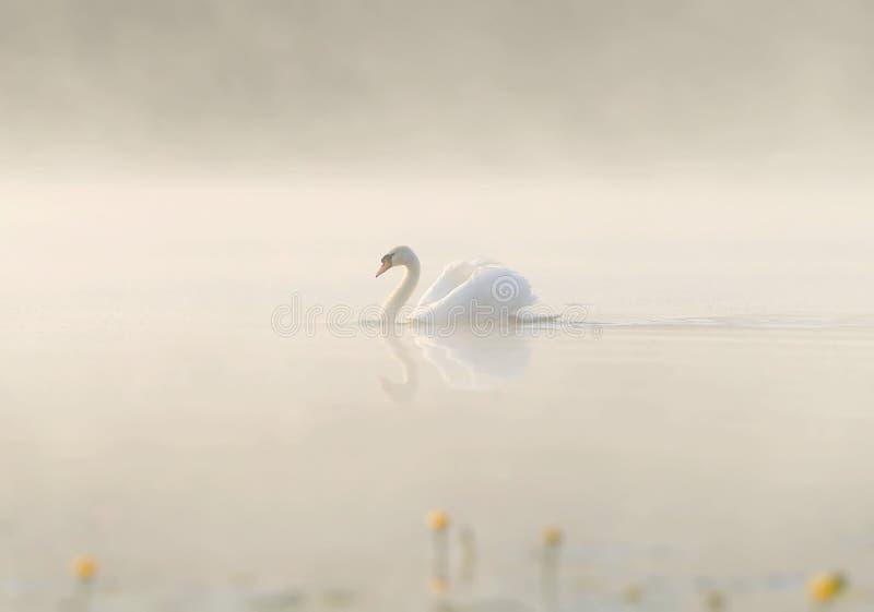Biały łabędź pływa przez spokojnej wody jezioro w mgle obraz royalty free