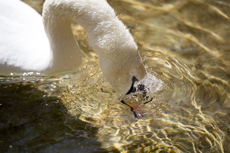 Biały łabędź pływa w jeziorze w na wolnym powietrzu zdjęcia royalty free
