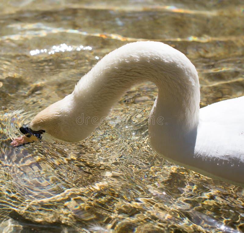 Biały łabędź pływa w jeziorze w na wolnym powietrzu zdjęcie royalty free