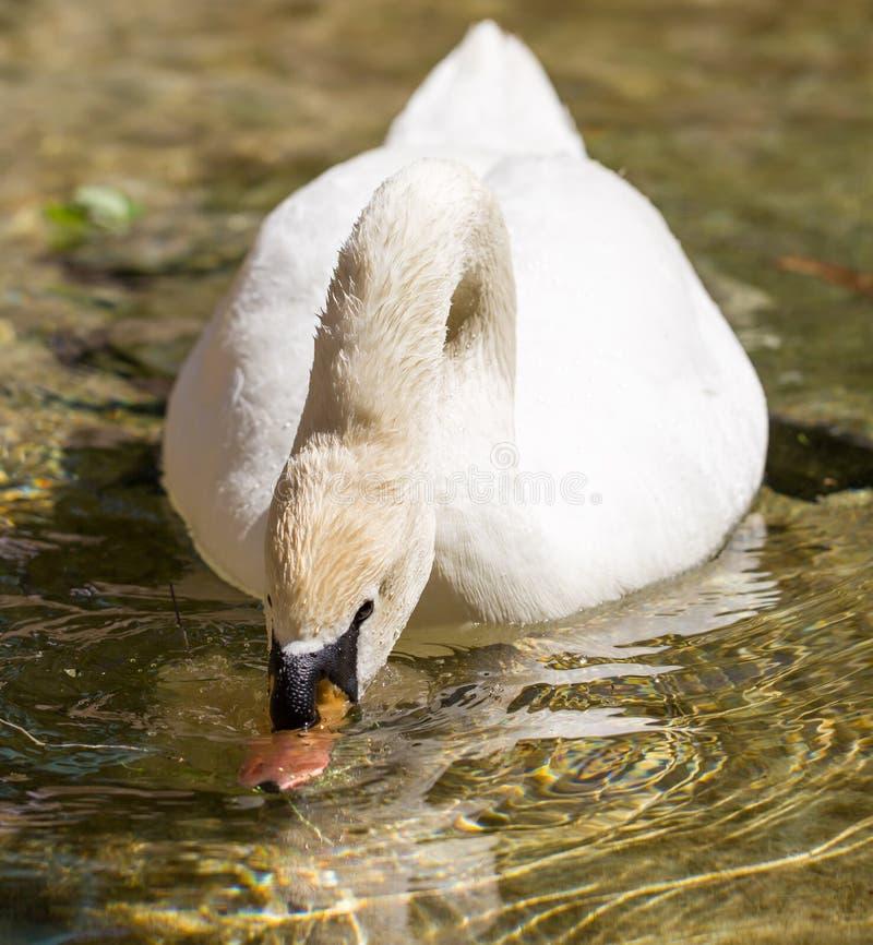 Biały łabędź pływa w jeziorze w na wolnym powietrzu fotografia stock