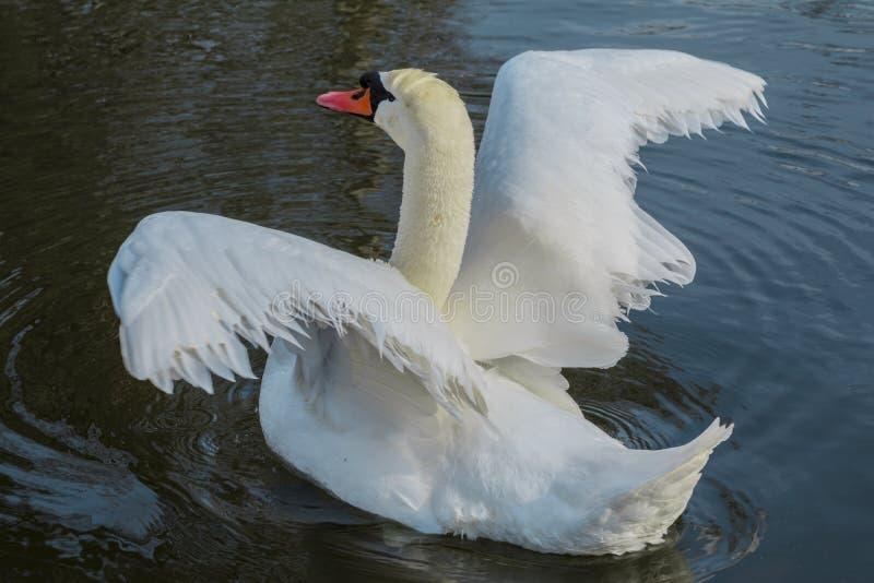 Biały łabędź, próbuje latać fotografia royalty free