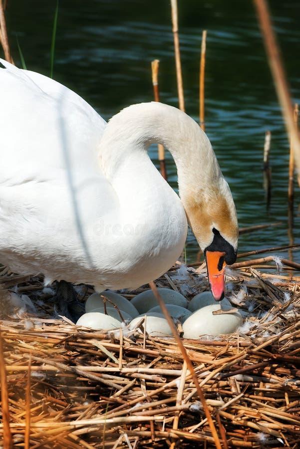 Biały łabędź w gniazdeczku Z jajkami obraz stock
