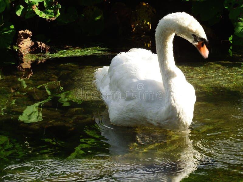 Biały łabędź w jeziorze obrazy royalty free