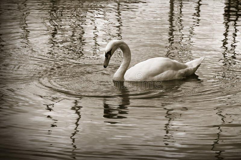 Biały łabędź w jeziorze - sepiowy stonowany obrazy royalty free