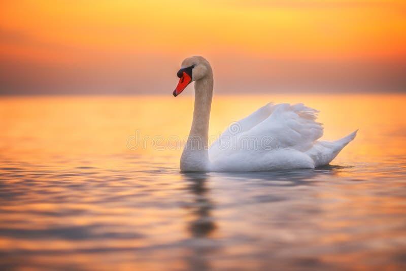 Biały łabędź w morzu, wschodu słońca strzał fotografia royalty free