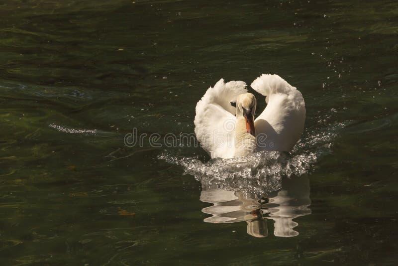 Biały łabędź z czerwonym belfrem unosi się na stawie, pieniąca woda, i odbija w nim obraz stock