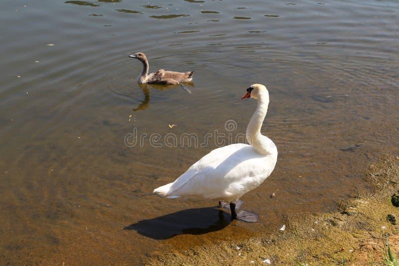 Biały łabędź z lisiątkiem na rzece obraz royalty free