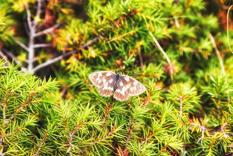 Biały łaciasty motyl obrazy royalty free