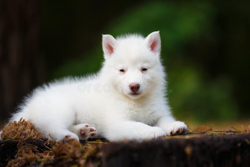 Biały Łuskowaty szczeniak zdjęcia stock