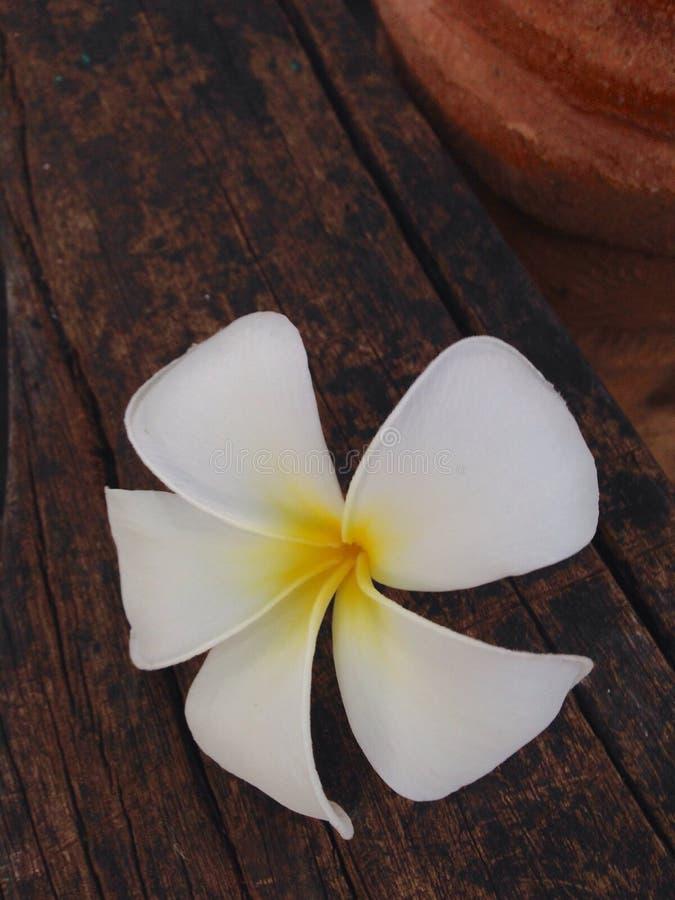 biały świątynny kwiat na drewnianej podłoga zdjęcia royalty free