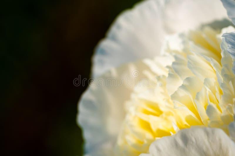 Biały - Żółty kwiat na dobrze, kopii przestrzeń na lewicie odizolowywającej zdjęcia royalty free