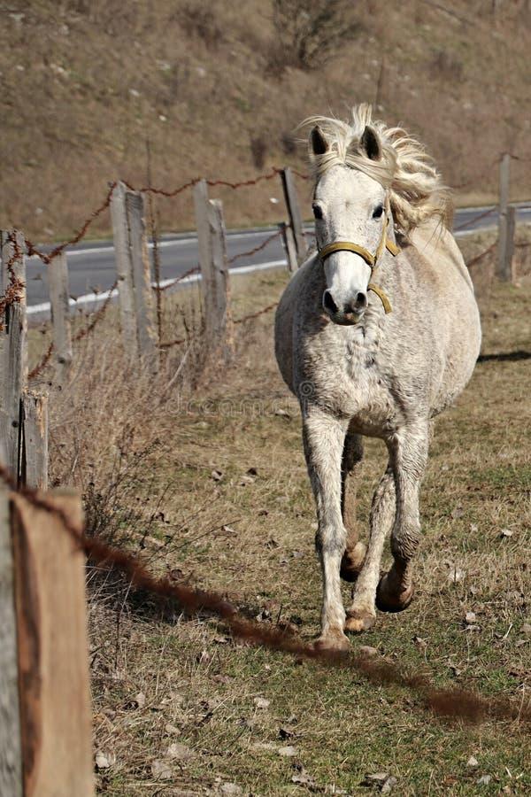 Biały żeński koń kłusuje blisko drutu kolczastego ogrodzenia z żółtym kantarem zdjęcia royalty free