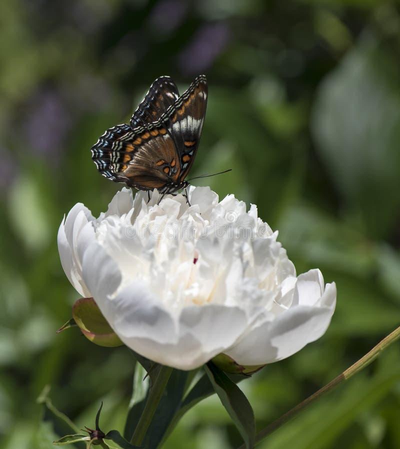 Biały Admiral motyl na Wielkim peonia kwiacie obraz royalty free