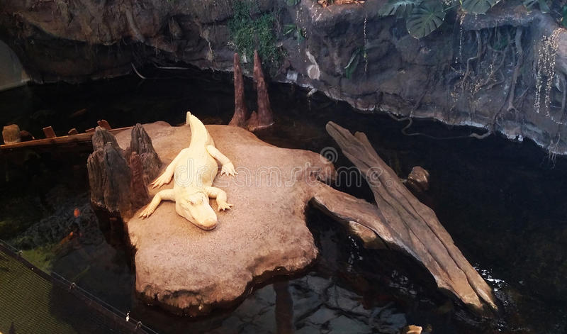 Biały aligator Kłaść na skale obraz stock