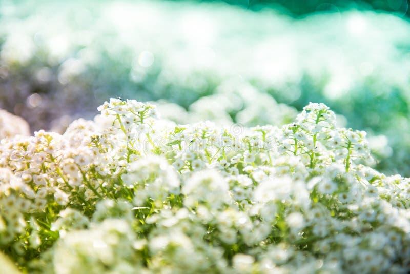 Biały Alyssum Maritimum fotografia stock