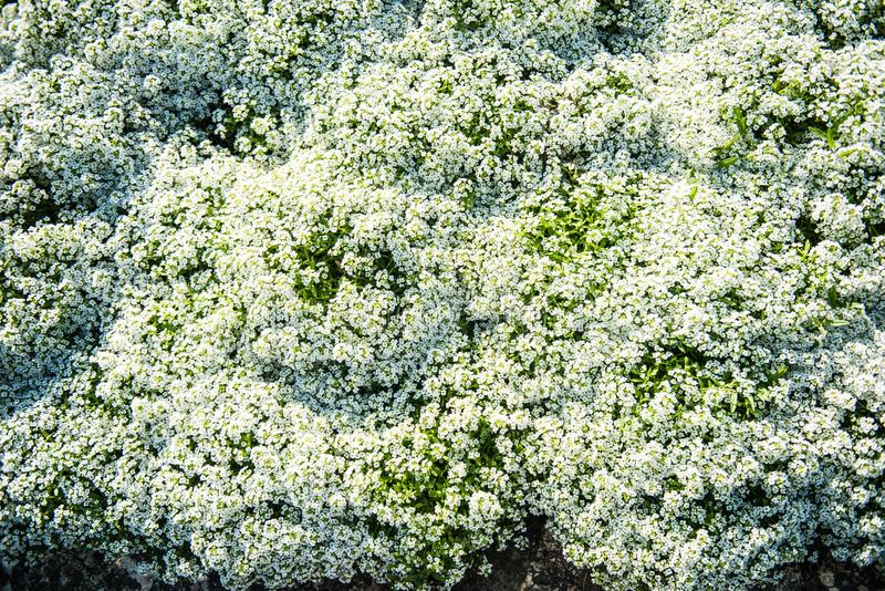 Biały Alyssum Maritimum fotografia royalty free