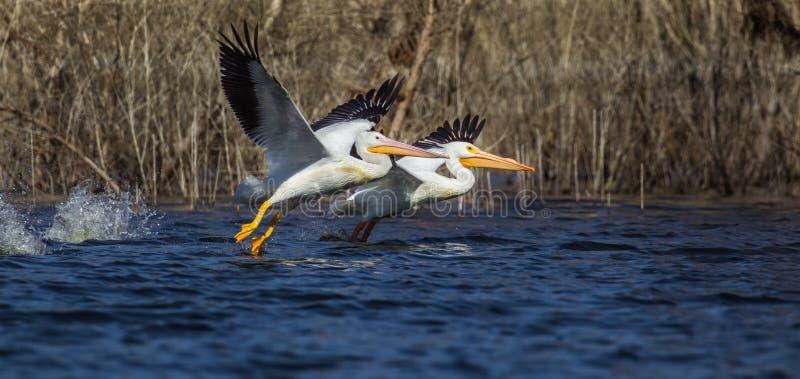 biały amerykańscy pelikany zdjęcia royalty free