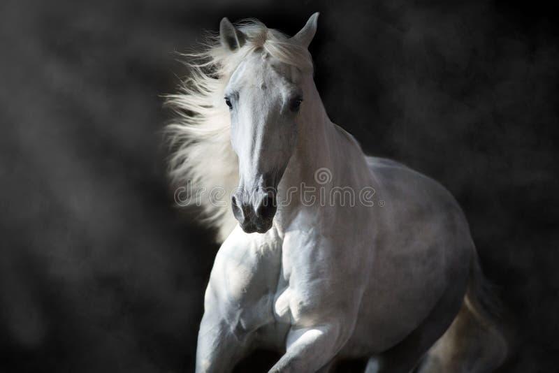 Biały andalusian koń w ruchu fotografia stock