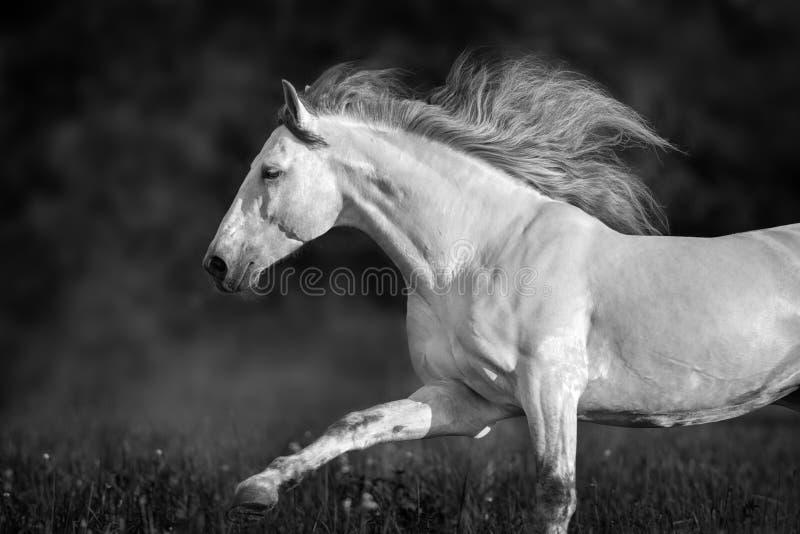 Biały andalusian ogier zdjęcia royalty free