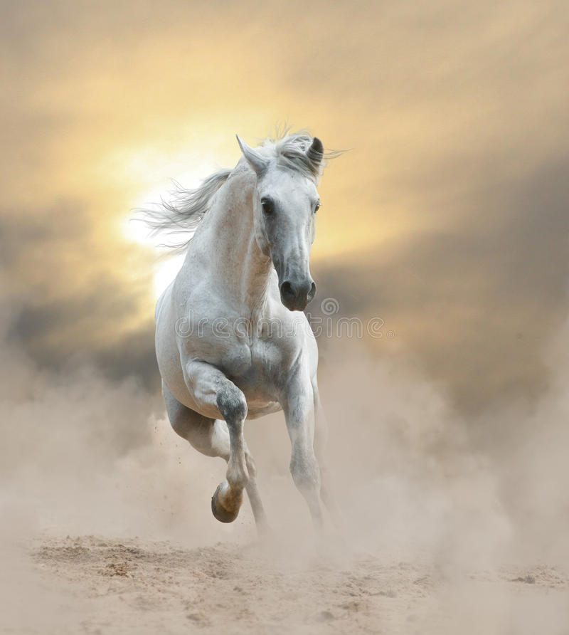 Biały andalusian ogier obrazy royalty free