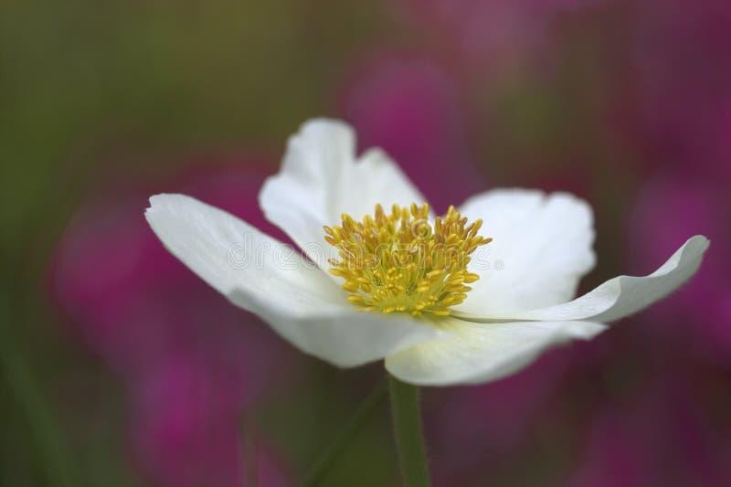 Biały anemon, zalewający z światłem zdjęcia stock