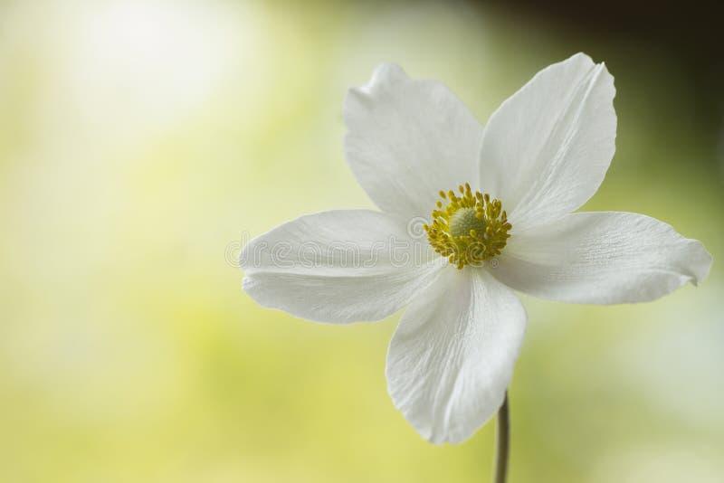 Biały anemon, zalewający z światłem fotografia stock