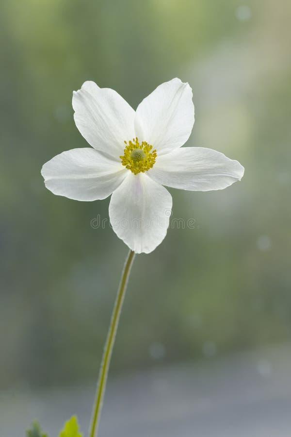 Biały anemon, zalewający z światłem zdjęcia royalty free