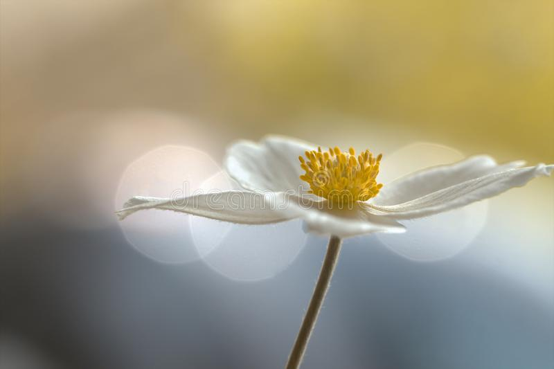 Biały anemon, zalewający z światłem obraz stock