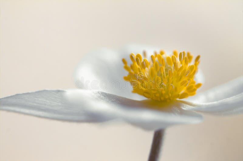 Biały anemon, zalewający z światłem obrazy stock