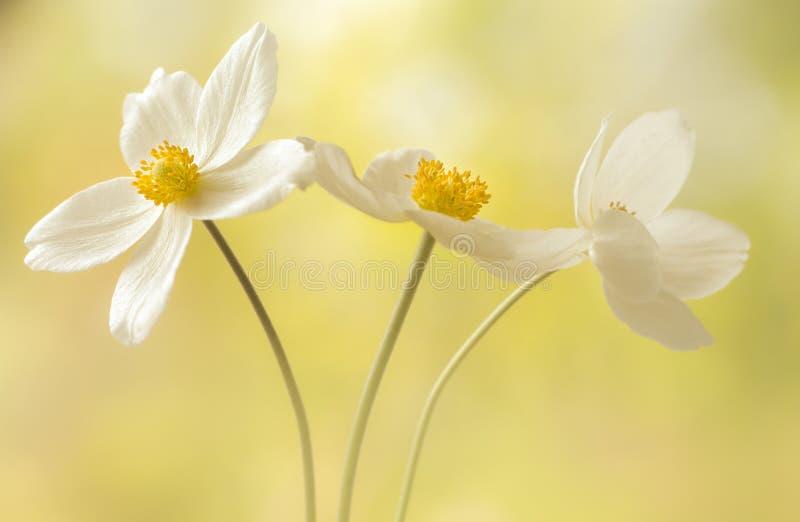 Biały anemon, zalewający z światłem fotografia royalty free