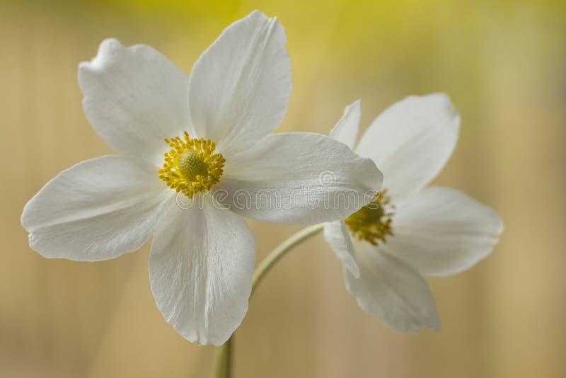 Biały anemon, zalewający z światłem obraz royalty free