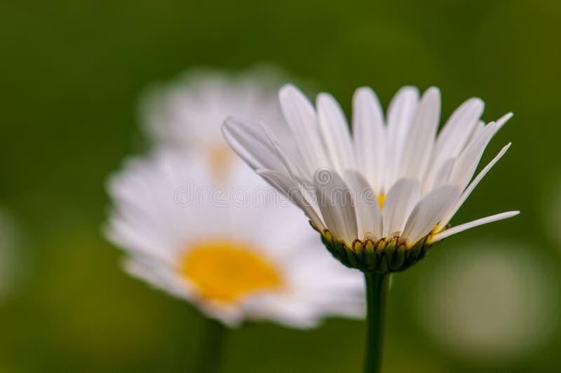 Biały Anthemideae okwitnięcia wiosny łąki zieleni tło zdjęcia stock
