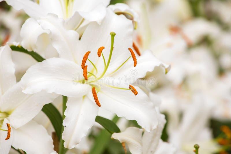 Biały Asiatic leluja kwiat zdjęcie royalty free