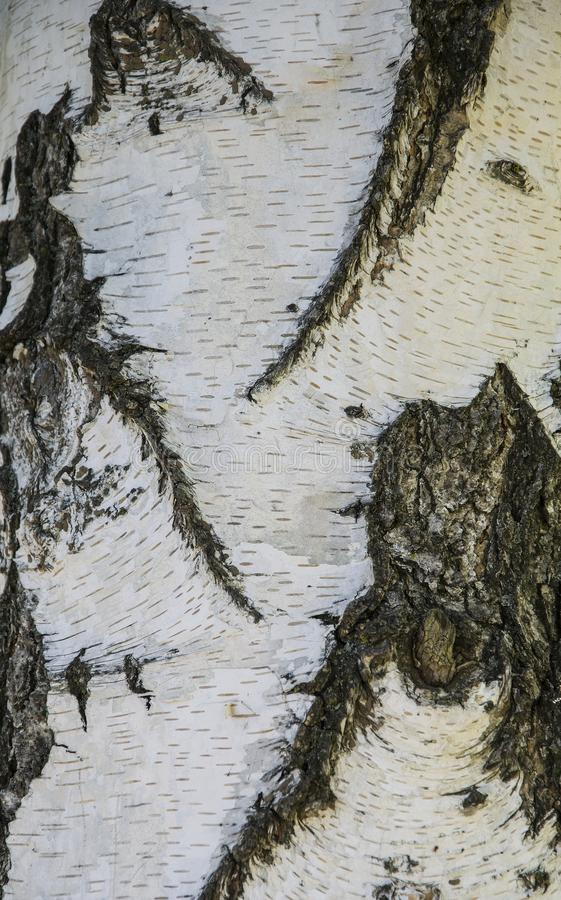 Biały bagażnik brzoza, z szarymi lampasami Tekstury drzewne zdjęcia royalty free