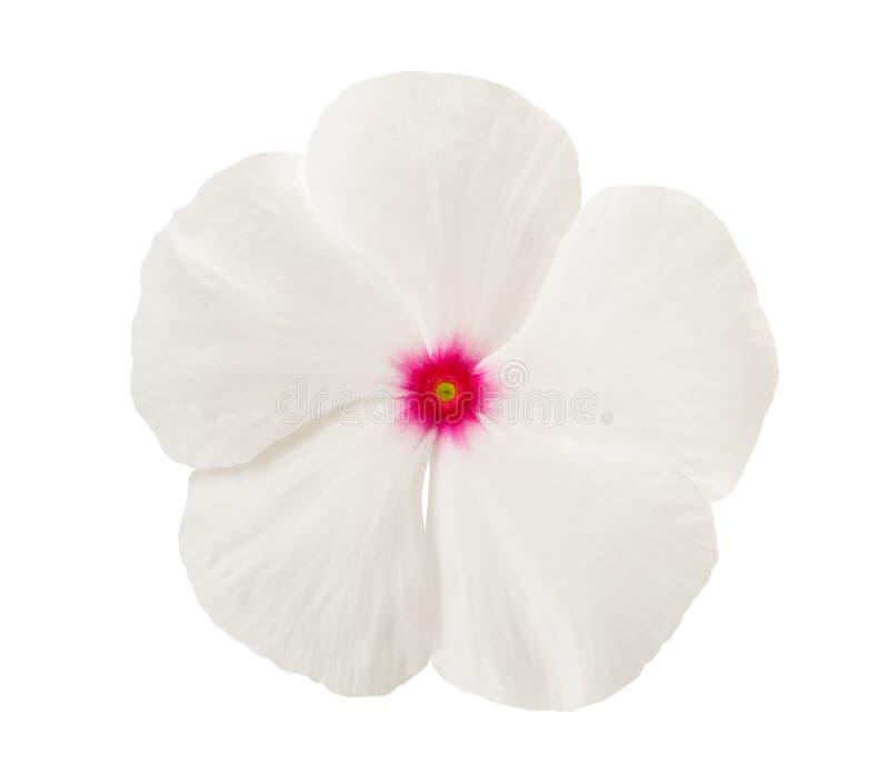 Biały barwinka kwiat obrazy royalty free