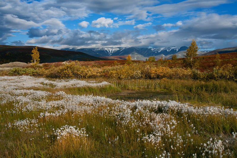 Biały bawełnianej trawy pole przeciw tłu jesieni góry zdjęcia royalty free