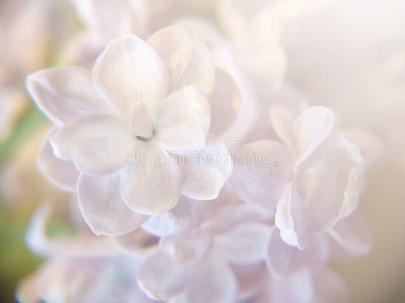 Biały bez kwitnie na kolorowym tle z bokeh światłami Pastelowa delikatna ilustracja obraz royalty free
