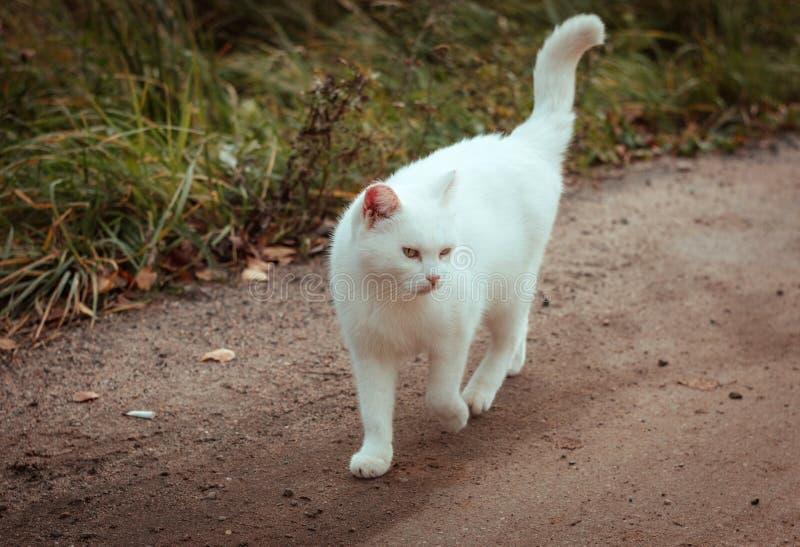 Biały bezdomny piękny kota odprowadzenia puszek drogowy, gapiący się i mrużący, zakończenie w górę Osamotniony przybłąkany kot sz obraz stock