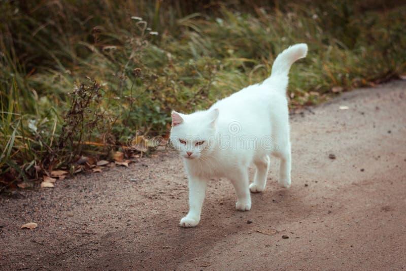 Biały bezdomny piękny kota odprowadzenia puszek drogowy, gapiący się i mrużący, zakończenie w górę Osamotniony przybłąkany kot sz zdjęcia stock