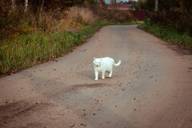 Biały bezdomny piękny kota odprowadzenie na drogowym, gapić się i mrużyć, Osamotniony przybłąkany kot szuka dom i właściciela obrazy stock