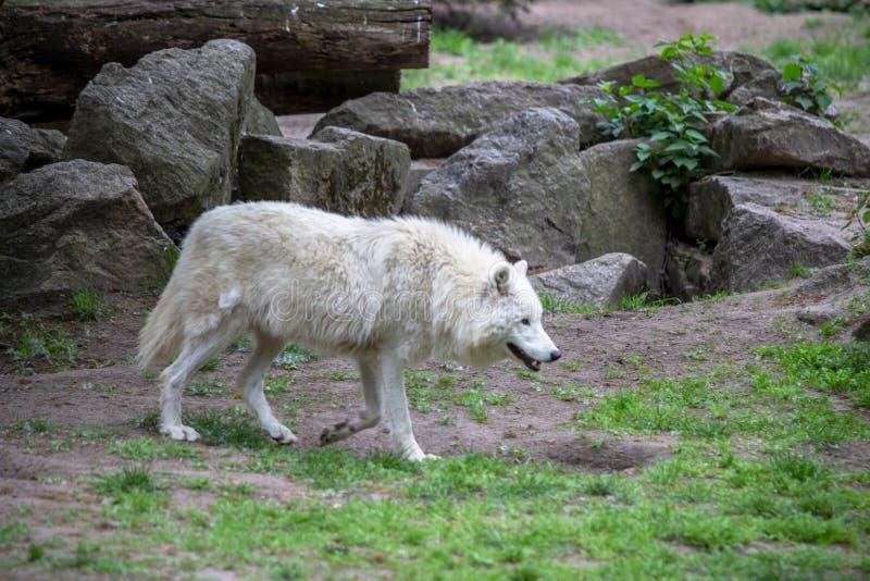 Biały Biegunowy wilk w zoo Berlin obraz stock