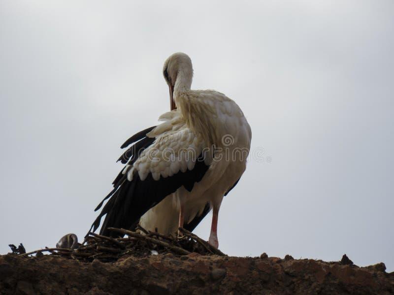 Biały bocian preening na górze gniazdeczka w Marrakesh obraz stock