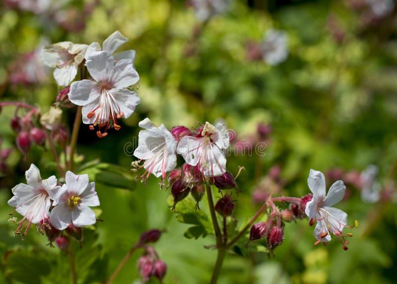 Biały bodziszek, Zimnotrwały Cranesbill w kwiacie w Maju/, UK zdjęcie royalty free