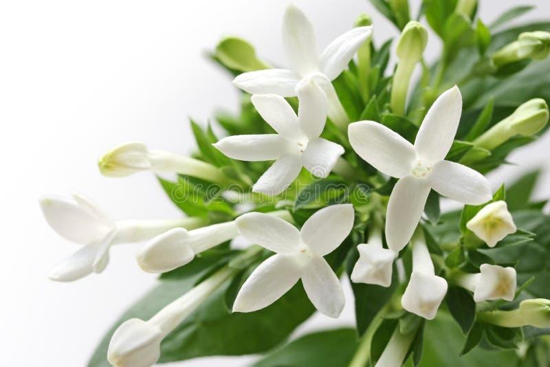 Biały Bouvardia kwiat zdjęcie stock